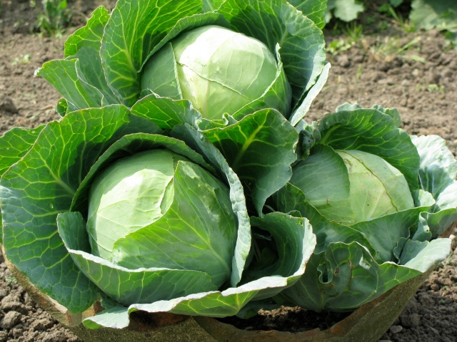 Cabbage, it is green its healthy and good for you. Uh huh