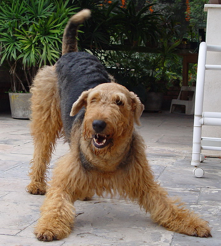 airedale-2
